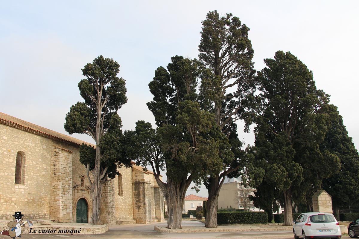 cyprès-commun-caderot-berre09