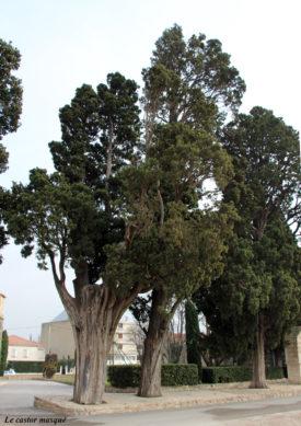 cyprès-commun-caderot-berre10
