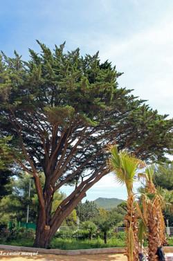 cyprès-lambert-st-cyr-sur-mer1