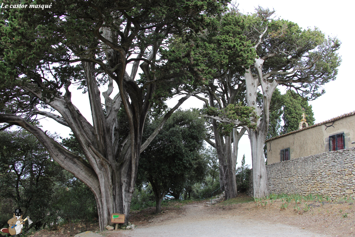 cyprès-provence-montolieu1