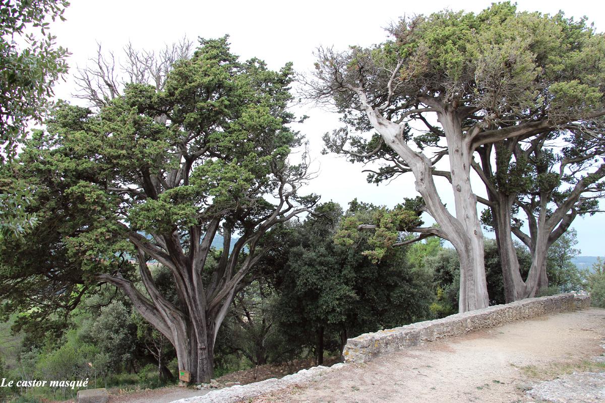 cyprès-provence-montolieu2