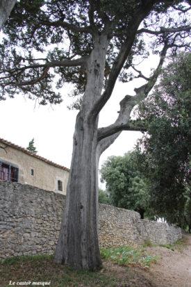 cyprès-provence-montolieu91