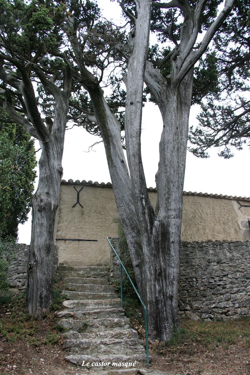 cyprès-provence-montolieu92