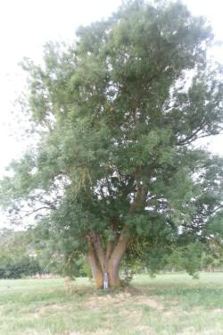 frêne De Saint-Sulpice-de-Faleyrens, Gironde, Lucie (4)