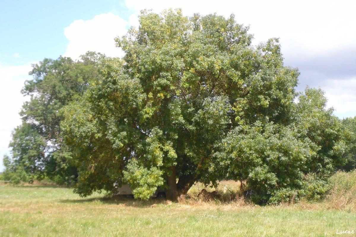 frêne De Saint-Sulpice-de-Faleyrens, Gironde, Lucie (6)