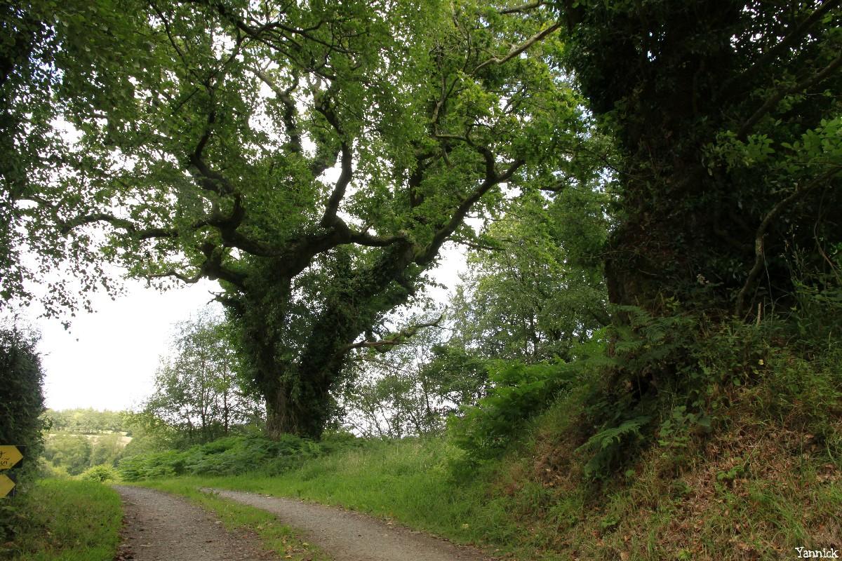 gros chêne de coet an bars, Mellionnec, Côtes d'Armor, Yannick Morhan (16)