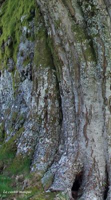 hetre-rocher-chambon-sur-lac7