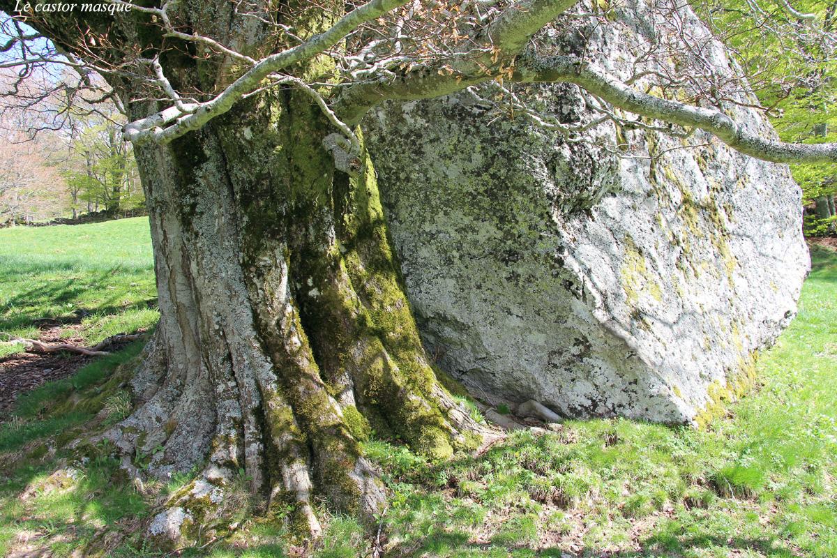 hetre-rocher-chambon-sur-lac93