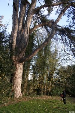 le pin noir de Limoelan en 2008, Sévignac, Côtes d'Armor Yannick Morhan (1)