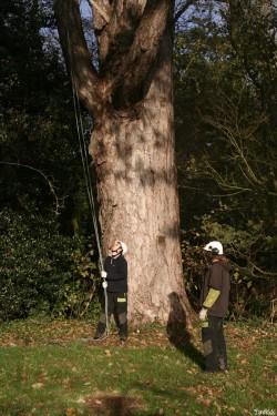 le pin noir de Limoelan en 2008, Sévignac, Côtes d'Armor Yannick Morhan (2)