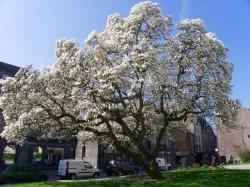 magnolia dinan redim5