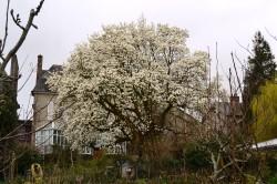 magnolia rueAB redim (1)