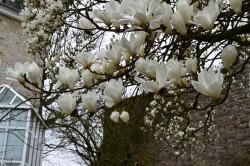 magnolia rueAB redim (3)