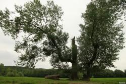 peupliers noirs, Bras-sur-Meuse, Meuse, Yannick Morhan (12)