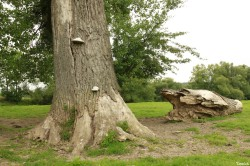 peupliers noirs, Bras-sur-Meuse, Meuse, Yannick Morhan (4)