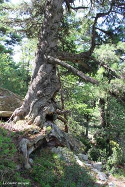 pin-cembro-dolmen-orgere06