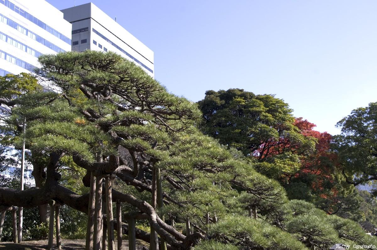 pin noir du jardin Hamarikyu, Tokyo, Japon, Rémy Canvesio (1)