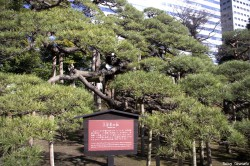 pin noir du jardin Hamarikyu, Tokyo, Japon, Rémy Canvesio (3)