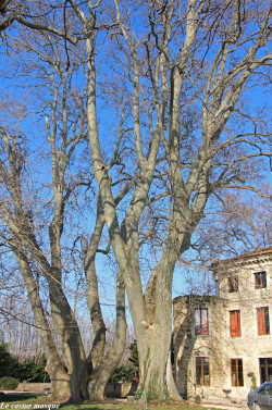 platane-chateau-bruyere-pont-st-esprit05