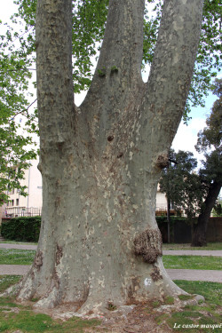 platane-trois-doigts-perpignan3