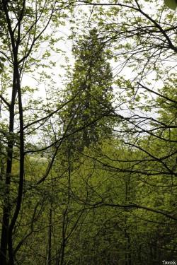 séquoia géant Bazouge la Pérouse, Ille et Vilaine, Yannick Morhan (11)