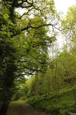 séquoia géant Bazouge la Pérouse, Ille et Vilaine, Yannick Morhan (3)