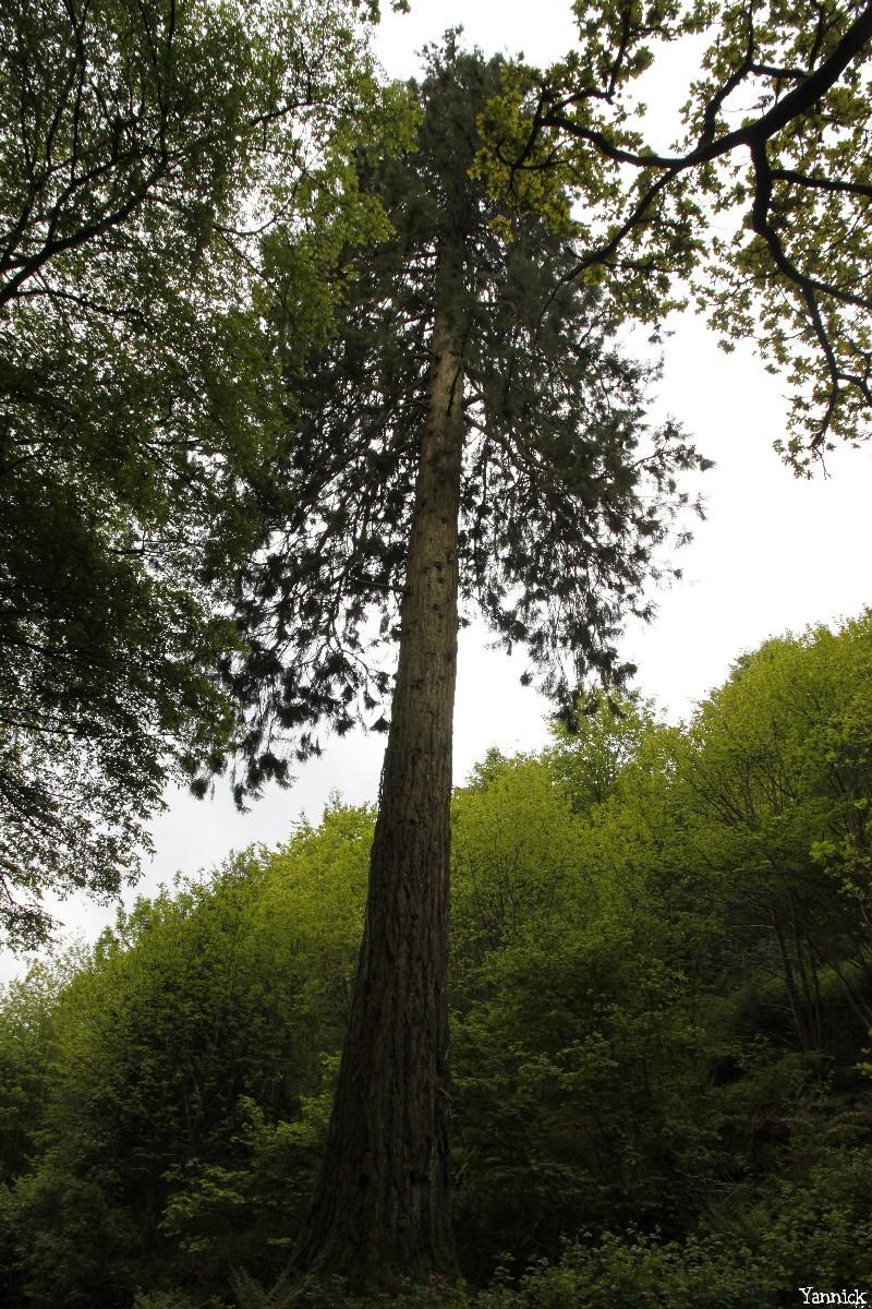 séquoia géant Bazouge la Pérouse, Ille et Vilaine, Yannick Morhan (4)