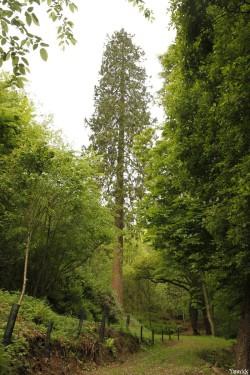 séquoia géant Bazouge la Pérouse, Ille et Vilaine, Yannick Morhan (5)