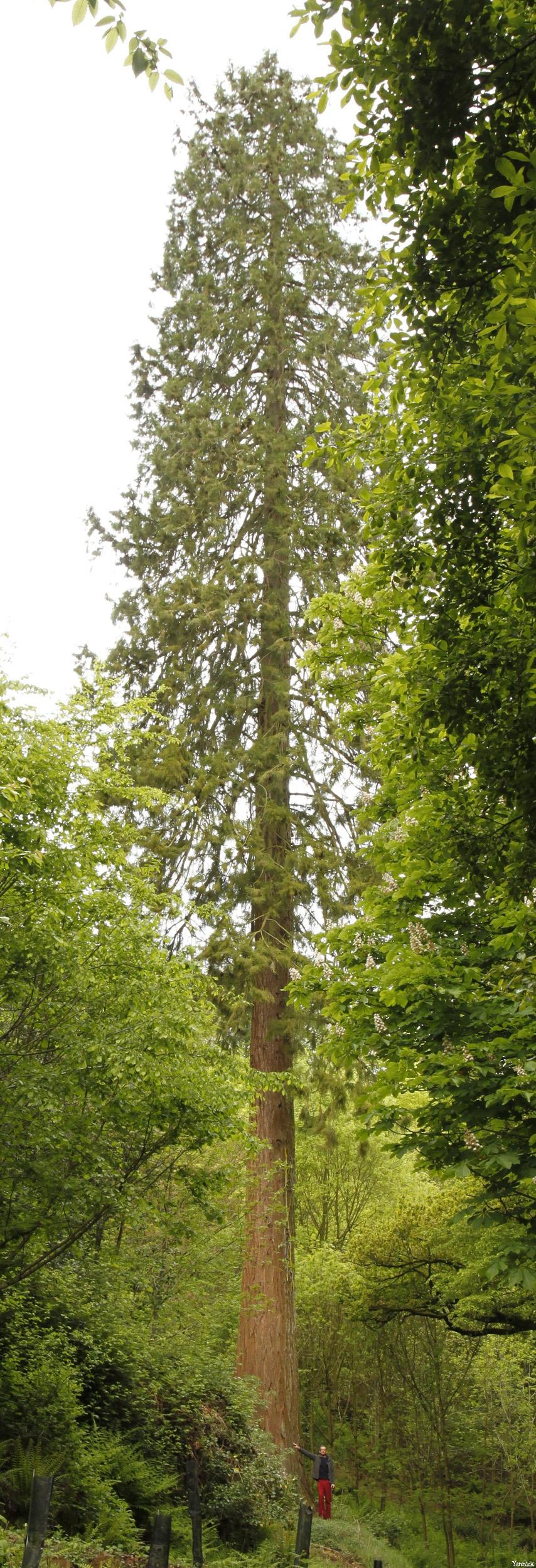 séquoia géant Bazouge la Pérouse, Ille et Vilaine, Yannick Morhan (8)