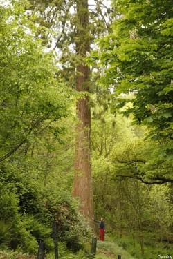 séquoia géant Bazouge la Pérouse, Ille et Vilaine, Yannick Morhan (9)