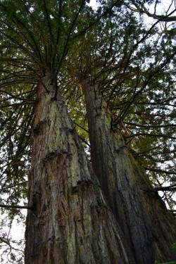 séquoia sempervirens_ Mur-de-Bretagne