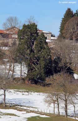 sequoia-geant-jonzieux1