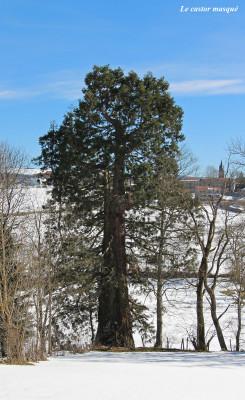 sequoia-geant-jonzieux2