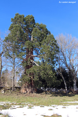 sequoia-geant-jonzieux4