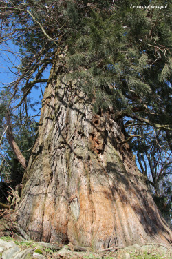 sequoia-geant-jonzieux5