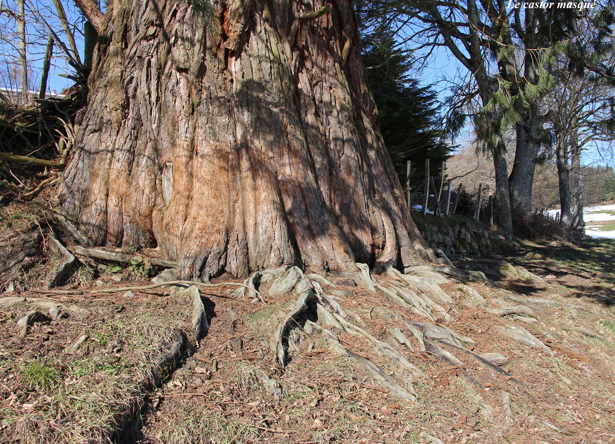 sequoia-geant-jonzieux7