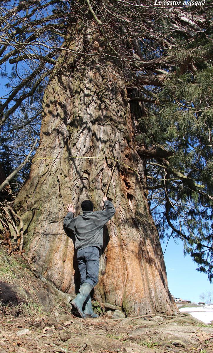 sequoia-geant-jonzieux8