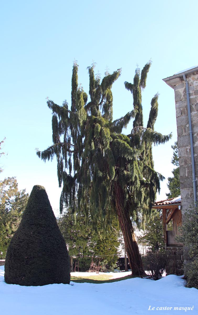 sequoia-geant-pendulum-jonzieux3