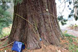 sequoia-geant-ronno3