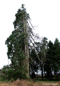sequoia-geant-ronno9