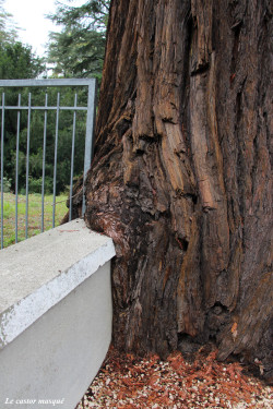 sequoia-sempervirens-vals-bains02