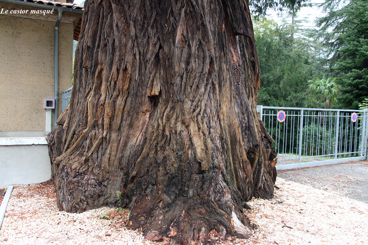 sequoia-sempervirens-vals-bains05