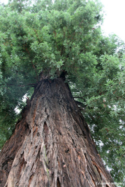 sequoia-sempervirens-vals-bains07