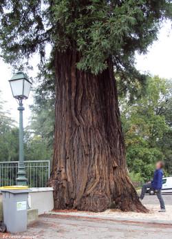 sequoia-sempervirens-vals-bains08