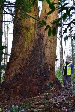 tronc_séquoia sempervirens_ Mur-de-Bretagne