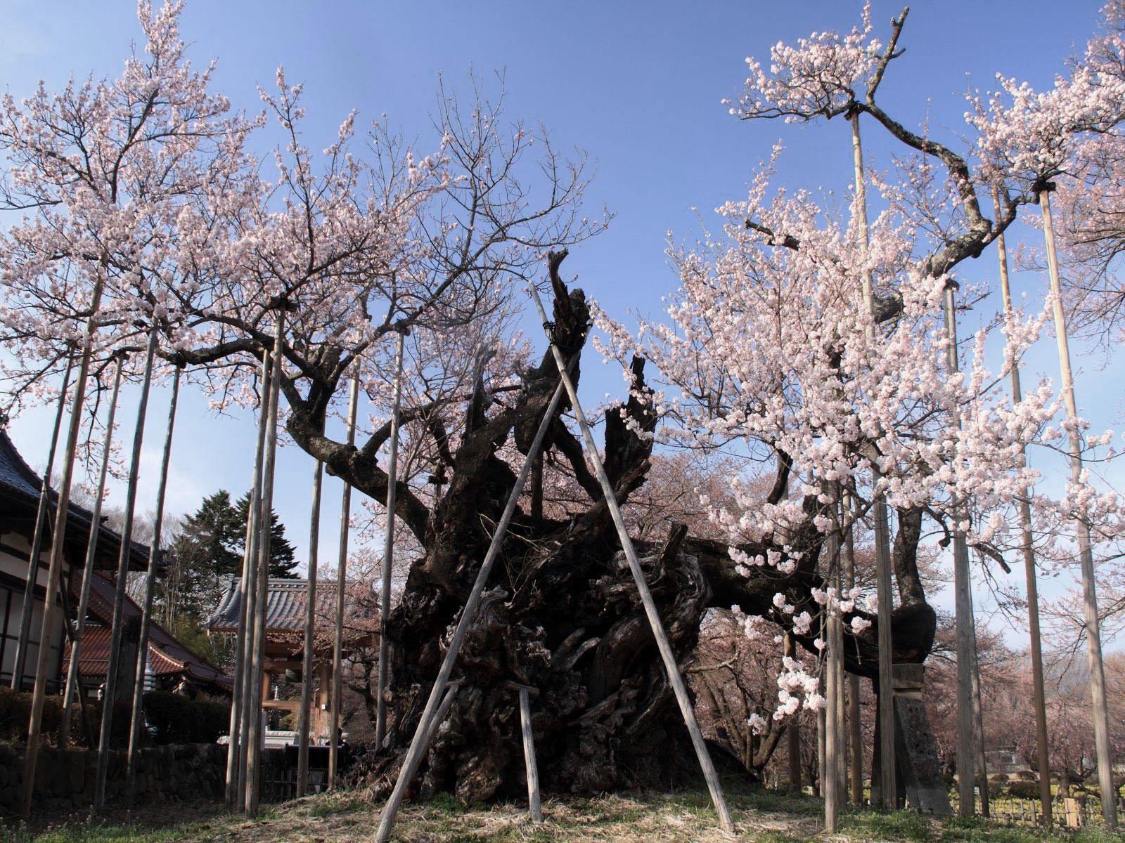 Hauteur Cerisier Du Japon cerisiers à fleurs géants du japon | les têtards arboricoles